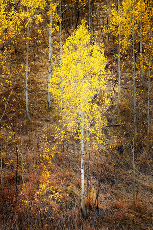 Autumn aspen trees fall colors golden leaves and white trunk bark maple red Фото со стока - 109337112