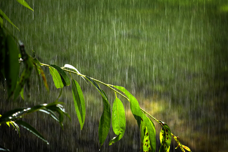 Tree branches and lush green growth tree with rain falling drops drips storm Banque d'images