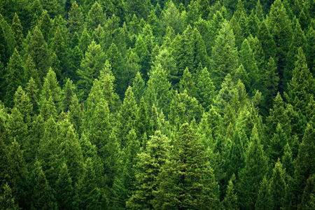 Forest of pine trees in wilderness mountains rugged green Stock fotó
