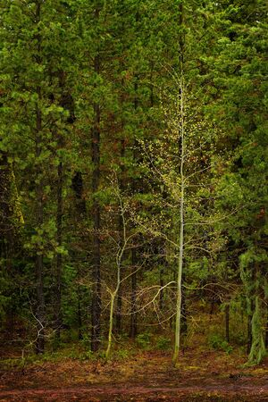 Forest of trees in wilderness lush green growth foliage
