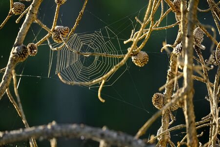 Spider web hanging in pine tree branches in summer early morning light
