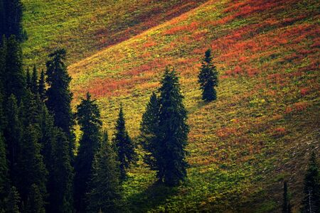 Pine forest alpine at high altitude with red and green grass