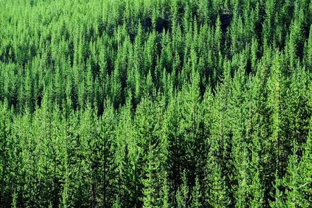 Forest of pine trees in wilderness mountains rugged green growth beautiful Banco de Imagens