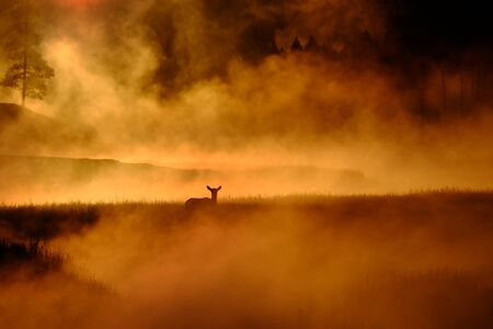 Elk standing out in meadow feeding near river with monring mist steam sunrise