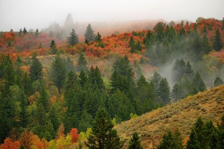 Autumn fall maple and pine trees on mountainside with fog fading