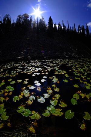 Lily pads in dark water with sunlight glowing in detail reflecting the sky pine trees and sunshine