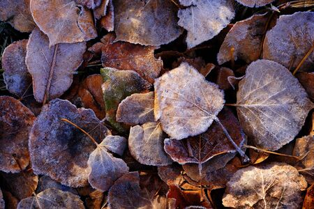 Frozen autumn leaves with details of frost Фото со стока