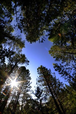 Forest of pine trees wilderness fisheye lens sky and sunstar Stock Photo