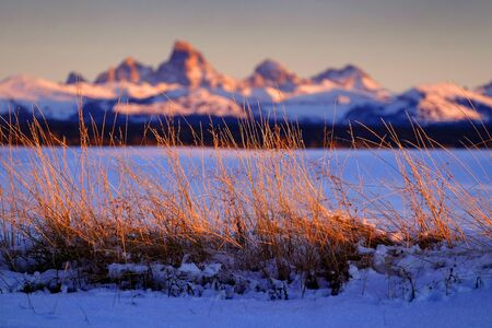 Wild grass or weeds with sunset light on Tetons Teton mountains in background