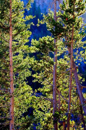 Pine trees forest in evening light wilderness