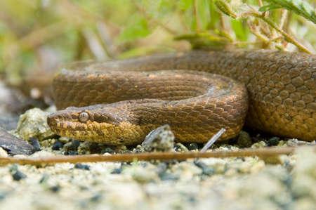 squamata: Snake