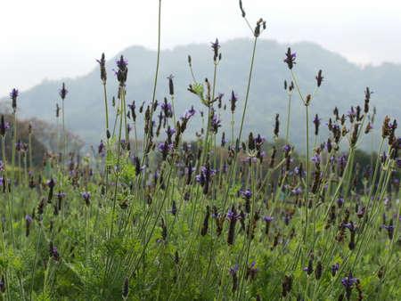 Lavender field 版權商用圖片