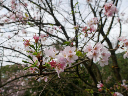 Tengenguchi cherry blossoms