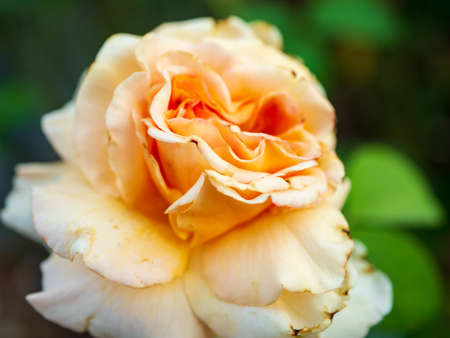 Peach colored rose close up focus shot