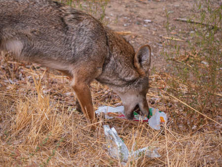 Coyote (Canis latrans) picking through discarded fast food trash for scraps. An example how littering can affect wildlife negatively , as it they could eat plastic and other trash trying to get to the food