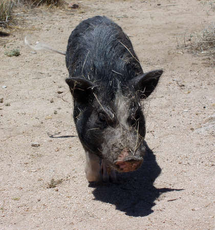 potbellied: Pig in the desert wags his tail all covered in sticks, Mojave Desert Joshua Tree California USA Hiking, June 2006