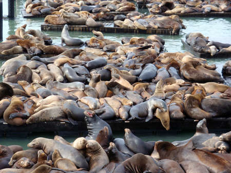 Seals and Sea lions Hangout on the pier at the Famous Pier 39 in San Francisco California     Stock Photo - 7361266