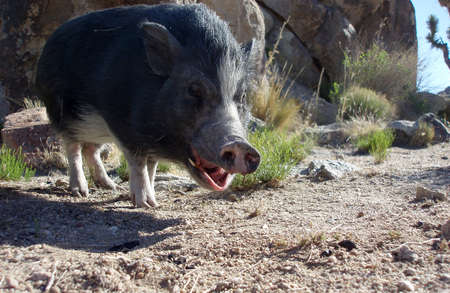 mohave: Pot bellied Pig yawning in the Mohave Desert Stock Photo