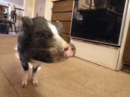 pot bellied: Little pot bellied pig finds his way into the Kitch as he looks for food