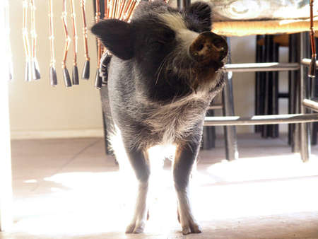 Pot bellied Pig in a house stands in the sunlight with eyes closed, and mud on his face.  Also, with breaded curtains onhis  back and smile on his face Stock Photo - 7443952