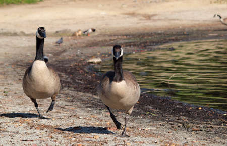 Canadian Geese on the March at lake meredith oakland with ducks bathing behind them. photo