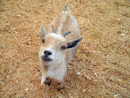 Baby billy Goat with horns and a goatee looks up at the camera Petting Zoo. photo
