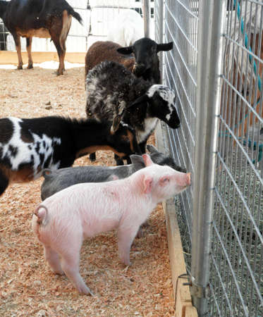 a couple of baby pot bellied pigs, goats and sheeps ask horses for advice through a fence at a petting zoo at a county fair
