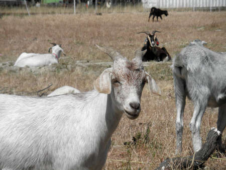 over grown: white and brown Goats hang out in an overgrown field in an urab area as their used to eat all the over grown weeds.  Closest goat looks into the camera. Stock Photo