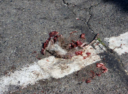 Rodent Roadkill in the City at a broken white line stop. Stock Photo