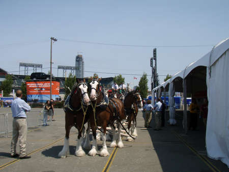 clydesdale: SAN FRANCISCO, CA - JULY 9: Budweiser Clydesdales lined up getting ready for All-Star Parade with men sitting on Studebaker wagons with Dalmatian dogs July 9, 2007 outside AT&T Park San Francisco.