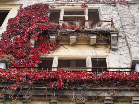 Red Leaf vine plant grow on the side of a building with windows long removed on Angel Island. photo