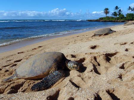 Three Large Green Sea Turtle sunbath on the beach on the North Shore of Oahu, Hawaii Stock Photo