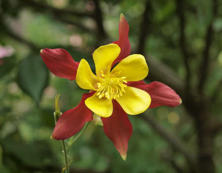 Beautiful Yellow and red flower in Garden photo