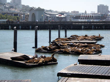 Seals relax at fishermans wharf in San Francisco in California.