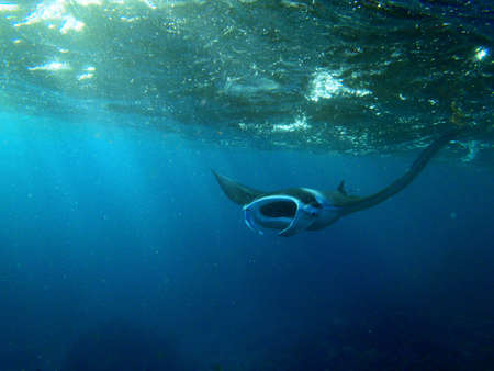 Large Manta Ray swims under the waves in Hanamau Bay on Oahu, Hawaii photo