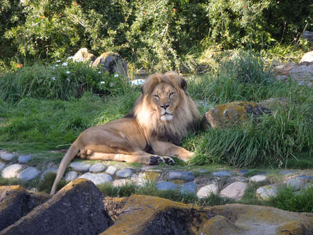 Lion rests in the grass at the Zoo in San Francisco