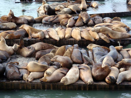 Large group of Sea Lions rest on rows of Piers near Pier 39 in San Francisco, California  photo