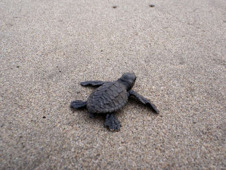 Baby sea turtle hikes through the sand to the sea on a beach in near Acapulco, Mexico Stock Photo - 18153961