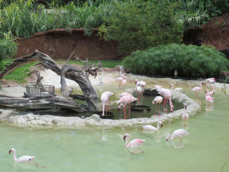 wade: Pink Flamingos wade in the water at the Honolulu .
