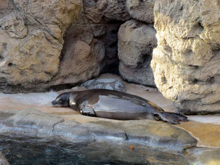 Monk Seal rest on land at the Waikiki Aquarium on Oahu, Hawaii.
