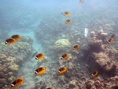 Kikakapu - Raccoon Butterflyfish swim above the coral with other fish swimming in the background in Hanauma Bay on Oahu, Hawaii. photo