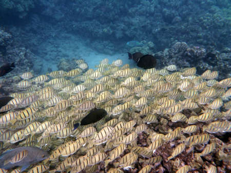 Various fish sneaking along with a school of Yellow Tang Fish in a rich coral area with parrot fish in the background of Hanamau Bay on Oahu, Hawaii. Stock Photo - 23323619