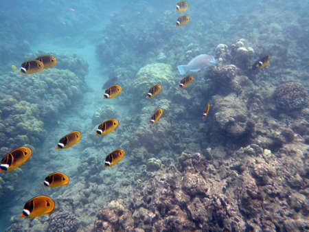 Kikakapu - Raccoon Butterflyfish swim above the coral with other fish swimming in Hanauma Bay on Oahu, Hawaii. photo