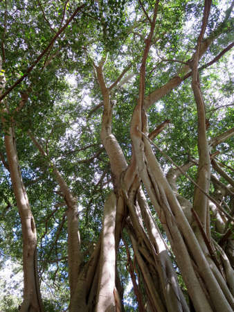 fibrous: Arbor of old banyan tree on the North Shore of Oahu, Hawaii.                                Stock Photo
