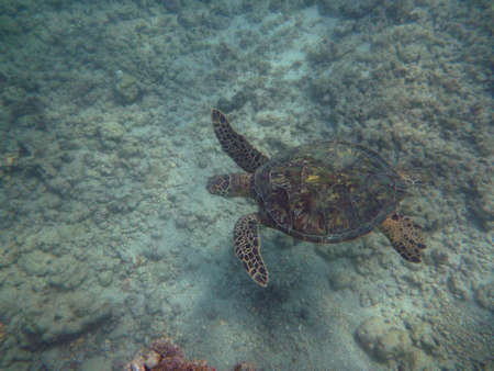 Medium sized Hawaiian Sea Turtle swims above coral rocks the waters of Waikiki on Oahu, Hawaii. Stock Photo