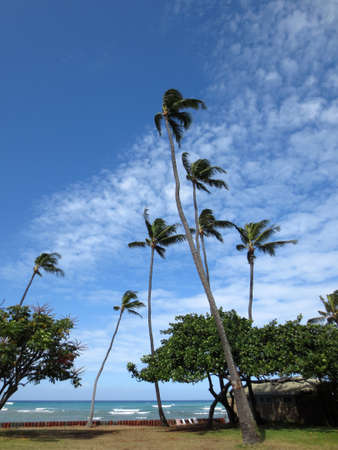 Coconut trees hang over stone path along cliff shore next to shallow ocean waters of Waikiki looking into the pacific ocean at Leahi Beach Park on Oahu, Hawaii on a beautiful day. Zdjęcie Seryjne