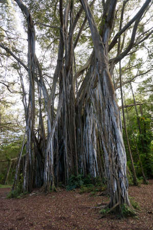 banyan tree: Arbor of old banyan tree on the North Shore of Oahu, Hawaii. Stock Photo