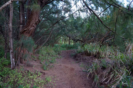 ironwood: Path in Ironwood Forest on North Shore, Oahu, Hawaii.