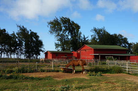 Horse eats at North Shore Stable with trees in the distance on Oahu, Hawaii. Banco de Imagens