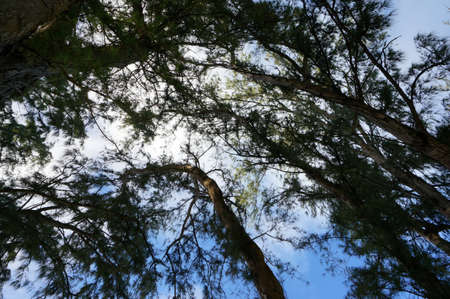 hardwoods: Branches of Ironwood trees and Sky with Clouds. Stock Photo